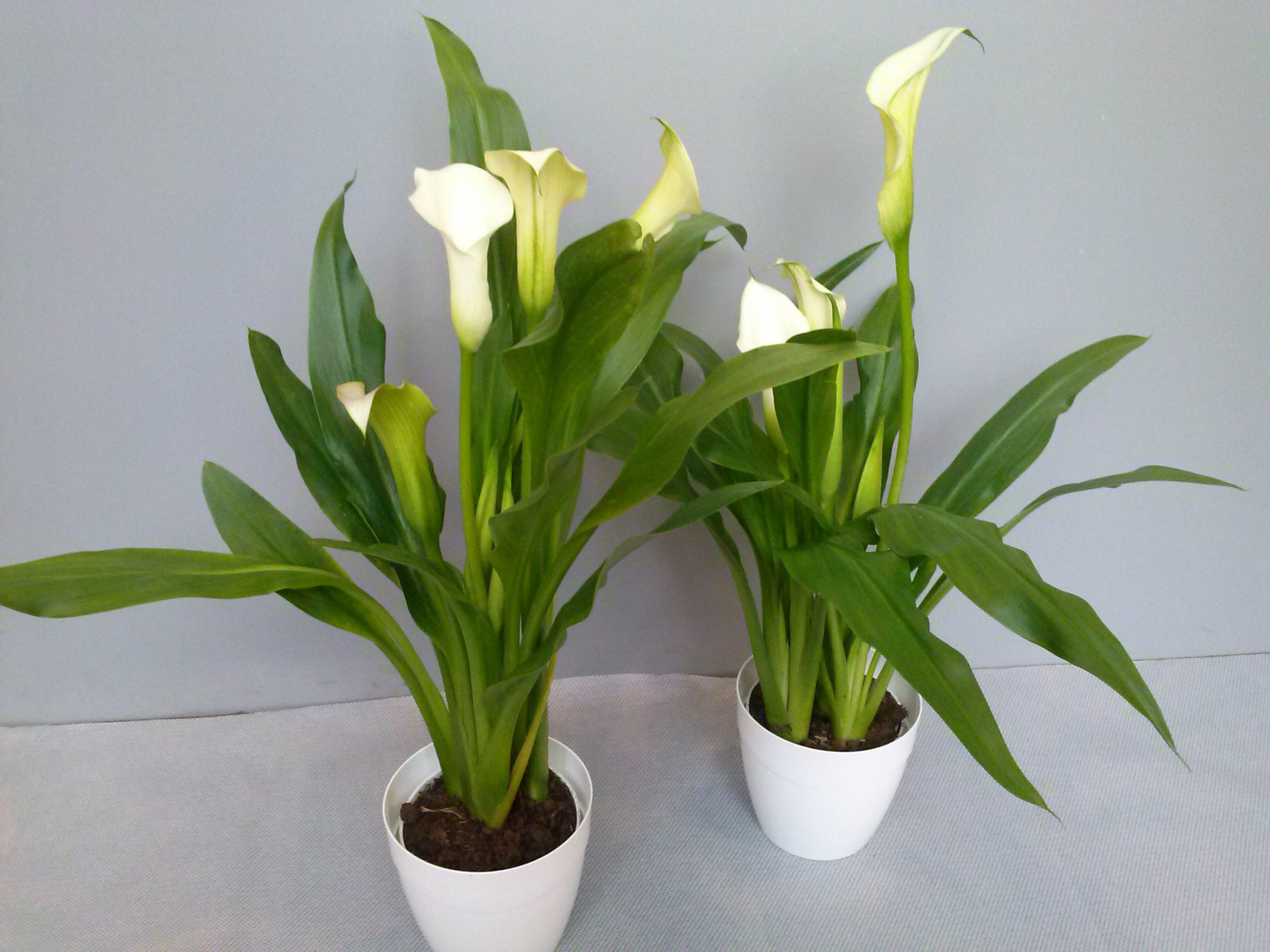 Rośliny Doniczkowe I Zewnętrzne E Kwietnik Studio Florystyczne